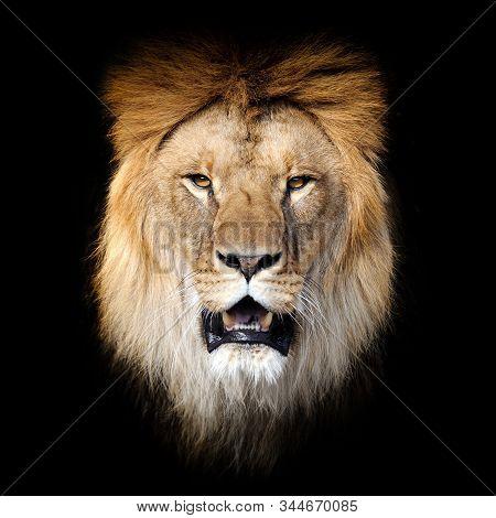 Close Up Lion Portrait Isolated On Dark Background