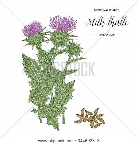 Milk Thistle Plant Hand Drawn. Thistle Flowers And Seeds Isolated On White Background. Medicinal Ger