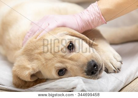 Labrador Retriever Puppy Getting Vaccinated On White Background