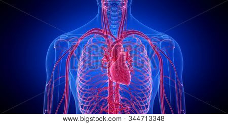 3d rendered medically accurate illustration of the human heart