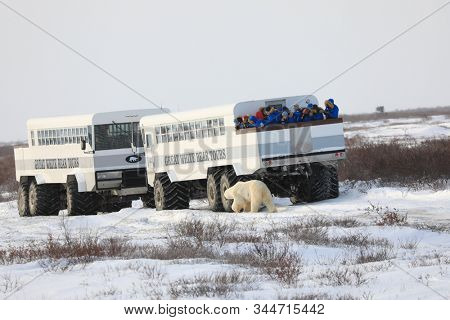 CHURCHILL, MANITOBA/CANADA - November 10, 2019:  Tundra Buggies provide transportation for the safe viewing of polar bears.  The animals come up to the vehicles during this adventure tour vacation.