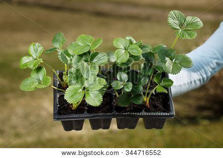 Young Organic Strawberry Plants Prepared To Be Planted On The Garden. Organic Gardening, Healthy And