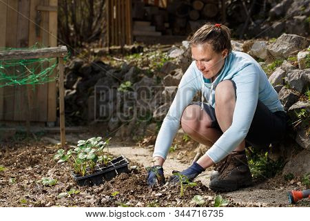 Gardener Planting Strawberry Seedlings In Freshly Ploughed Garden Beds. Organic Gardening, Healthy F
