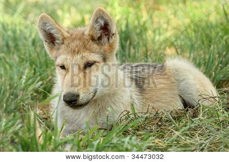 A Wolf pup resting in the grass