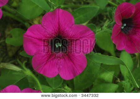 Deep Purple Flower With Bright Green Leaves
