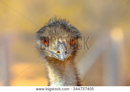 Front View Of Details Of Emu, Dromaius Novaehollandiae, Cultural Icon Of Australia, Appearing On The
