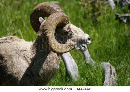 a big horn ram calls to the rest of the herd poster