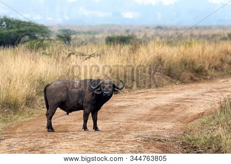 Male adult buffalo, Syncerus caffer caffer, in Nairobi National Park, Kenya.