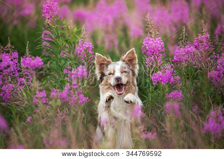 Dog In Lilac Flowers. Border Collie In A Field On Nature. Portrait Of A Pet. Cute Pet