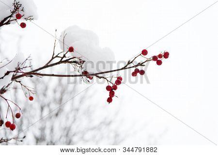 Frozen Food. Climate Control. Seasonal Berries. Christmas Rowan Berry Branch. Hawthorn Berries Bunch