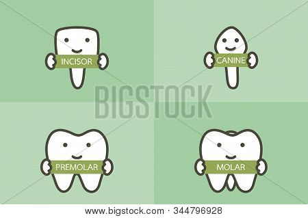 Type Of Tooth ( Incisor, Canine, Premolar, Molar ) - Dental Cartoon Vector Flat Style Cute Character