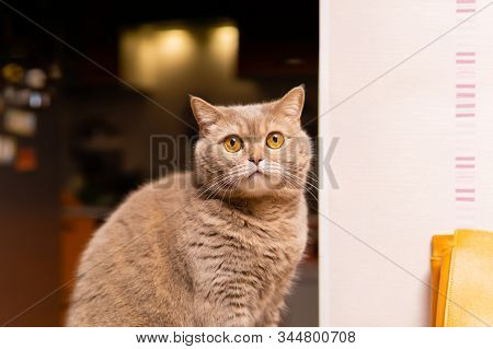 Cute Scottish Straight Cat Looks In Bewilderment