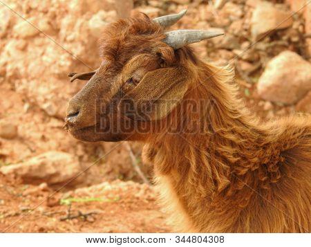 The Cloven-hoofed Goats In Morocco Who Climb The Argania Spinosa, Or  Argan Tree