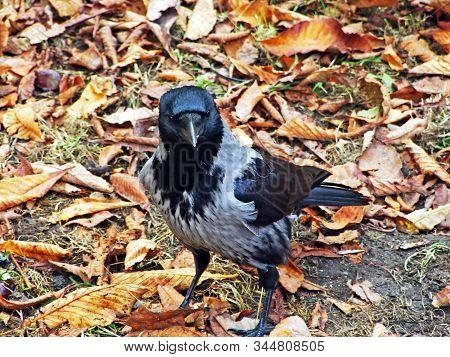 The Hooded Crow (corvus Cornix), Hoodie, Scotch Crow, Danish Crow, Caróg Liath, Grey Crow Or Die Aas