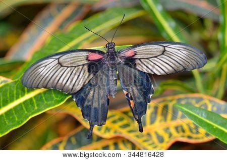 butterfly on plant (Great Mormon,Papilio memnon agenor)