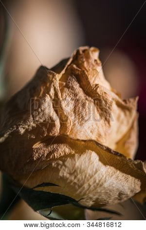 wilted yellow rose flower bud. Faded  Dry flower on blurry background poster