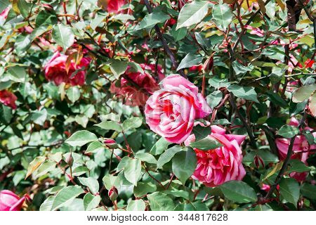 Bush Pink Rose In Flower Bed In Garden, Horizontal Outdoors Stock Photo Image Background