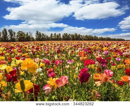 Spring in Israel. Easter week. Field of flowering garden buttercups/ ranunculus. Kibbutz in the south of Israel. Concept of active and ecological tourism