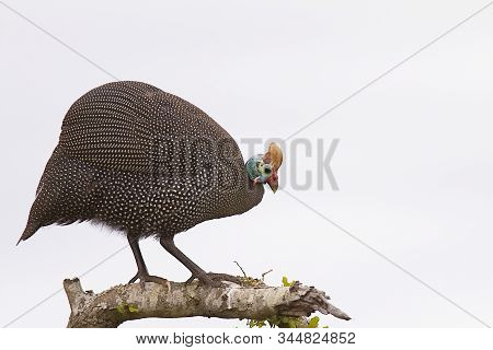 Guinea Fowl Portrait Standing On A Tree Branch Looking To Right