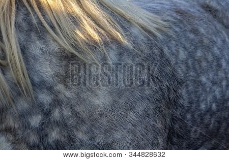Nice Texture Of Roan Grey Horse With White Mane.