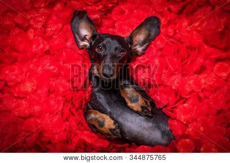 Suasage  Dachshund Dog Lying In Bed Full Of Red Rose Flower Petals As Background  , In Love On Valen