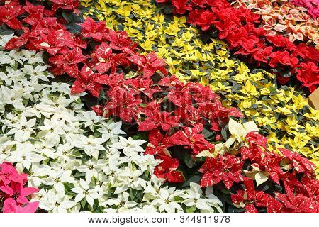 Colorful Poinsettia Christmas Flower. Pink, White, Yellow And Red Poinsettias (euphorbia Pulcherrima