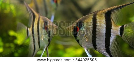 Angelfish Pterophyllum Scalare - In An Aquarium