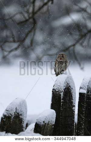Tawny owl sit on the tombstone during snow storm - Strix Aluco poster