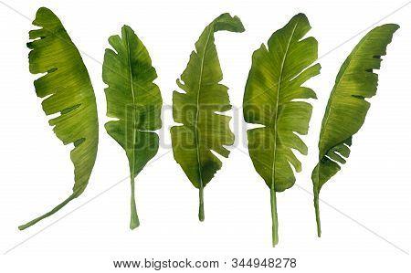 Watercolor Set Of Illustration Of Banana Leaves Vegetation. Green Leaf Leaves Lush Tropical Exotic F