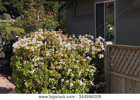 This Is An Image Of A Mature Jade Plant With Flowers Growing In  Carmel, California.