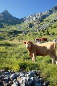 cow in alpine mountain with blue sky poster