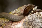 Wild european adder and its forked tongue on the wood poster