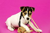 Jack Russell Terrier puppy with necklaces isolated on a pink background poster