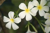 Frangipani flowers on a tree in the garden poster