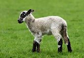 a brown and white speckled lamb standing alone in a field in spring. poster