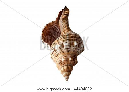 Isolated Sea Nautilus Shell