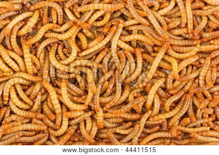 Background Of Meal worms