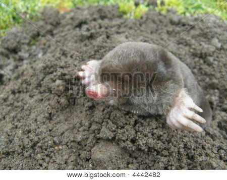 Common Black Mole Side On