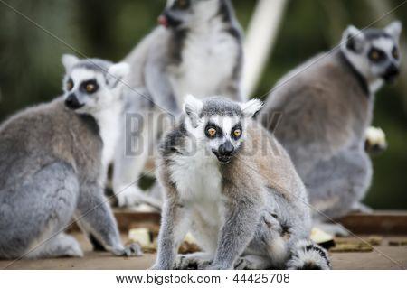 Ringtail Lemurs