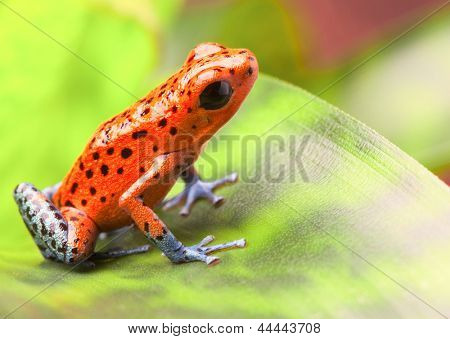 red poison arrow frog on leaf. Oophaga pumilio, an amphibian of the tropical rainforest in Panama. A beautiful poisonous animal. Bahia Grande morph.