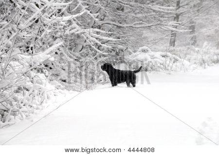 Abrador In The Snow