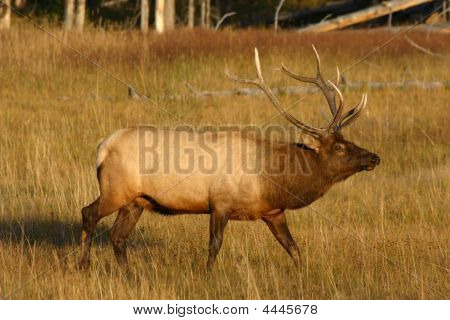 Elk Bull In Yellowstone National Park