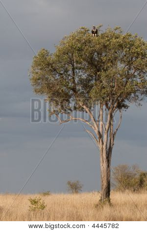 Vulture Lurks In A Tree In Maasai Mara