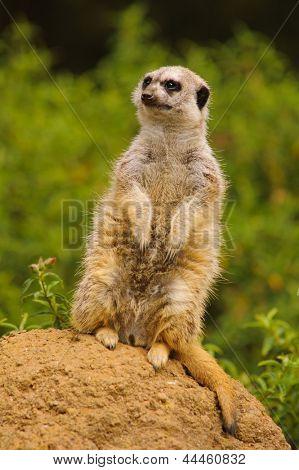 Meerkat on the lookout for predators