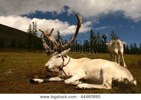 reindeer in summer