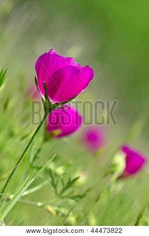 Colorful winecup wildflowers (Callirhoe involucrata)