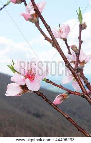 Mountainside Crabapple