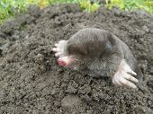 Common black mole that is rarely seen. poster