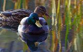 couple drakes on lake, birds in Poland poster
