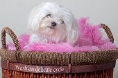 Fluffy white Maltese sitting on a pink blanket in a laundry basket. poster